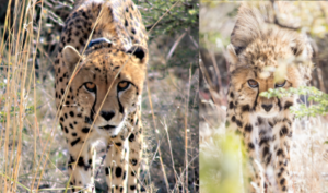 Zinzi and cub with same intimidation pose