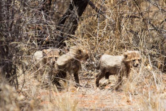 Zinzi's Cubs