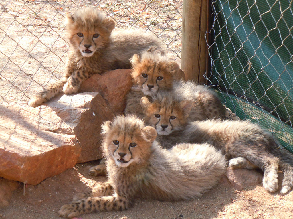 The four cubs after a few weeks at CCF