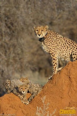 Jacomina and her two cubs in Erindi