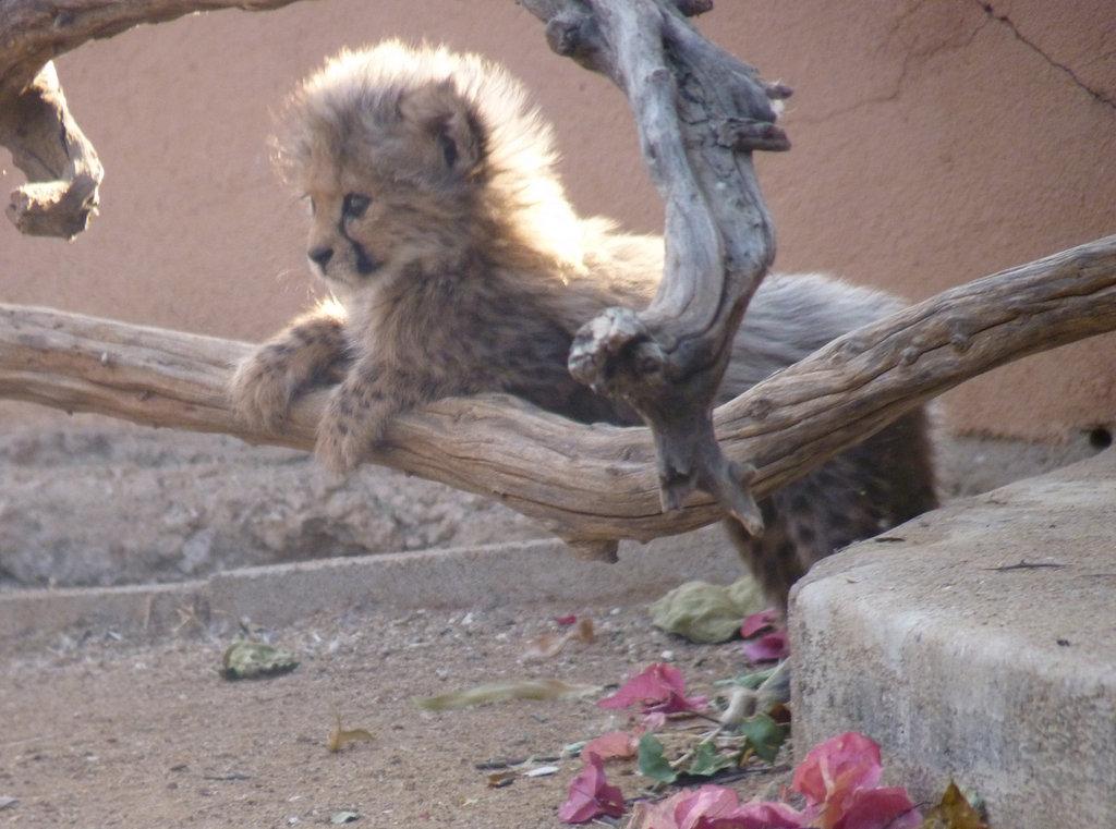 Feed Orphan Cheetahs in Namibia