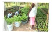Repair/restore food producing gardens in Haiti