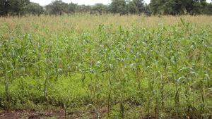 A farmer's insured maize crop
