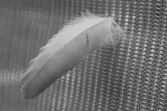 Feather of chicken