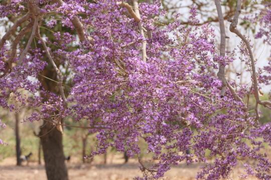 purple flowers tree