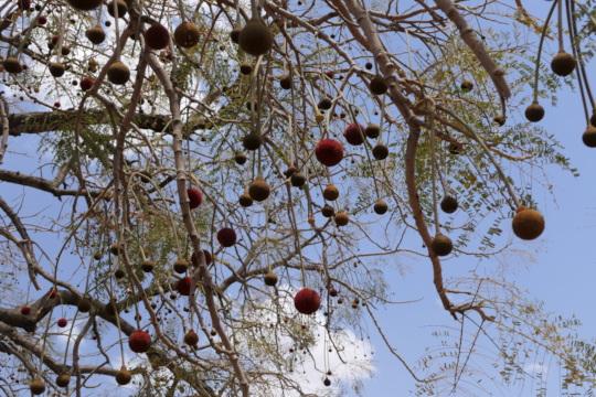 locust tree flowers