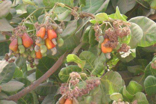 Cashew nuts tree