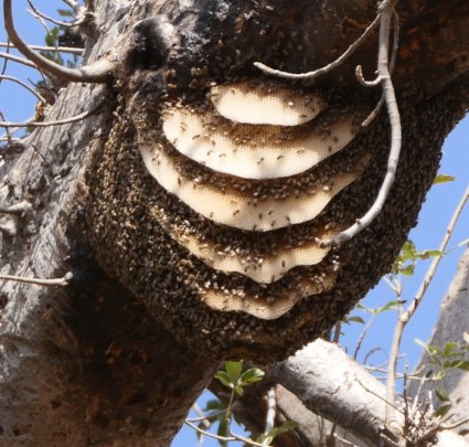 Swarm on  a Baobab tree