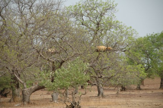 Traditional hives in trees