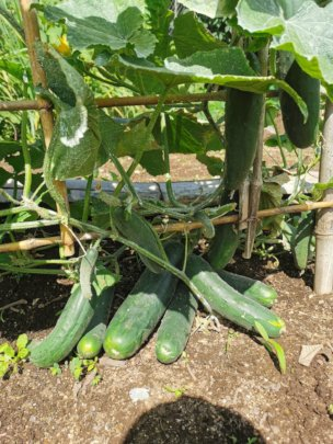 A bounty of cucumbers to feed many families