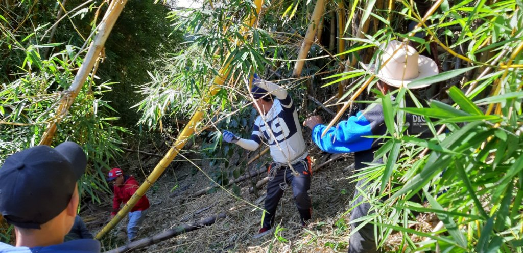 Collecting bamboo