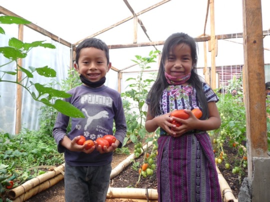 Picking tomatoes from the greenhouse