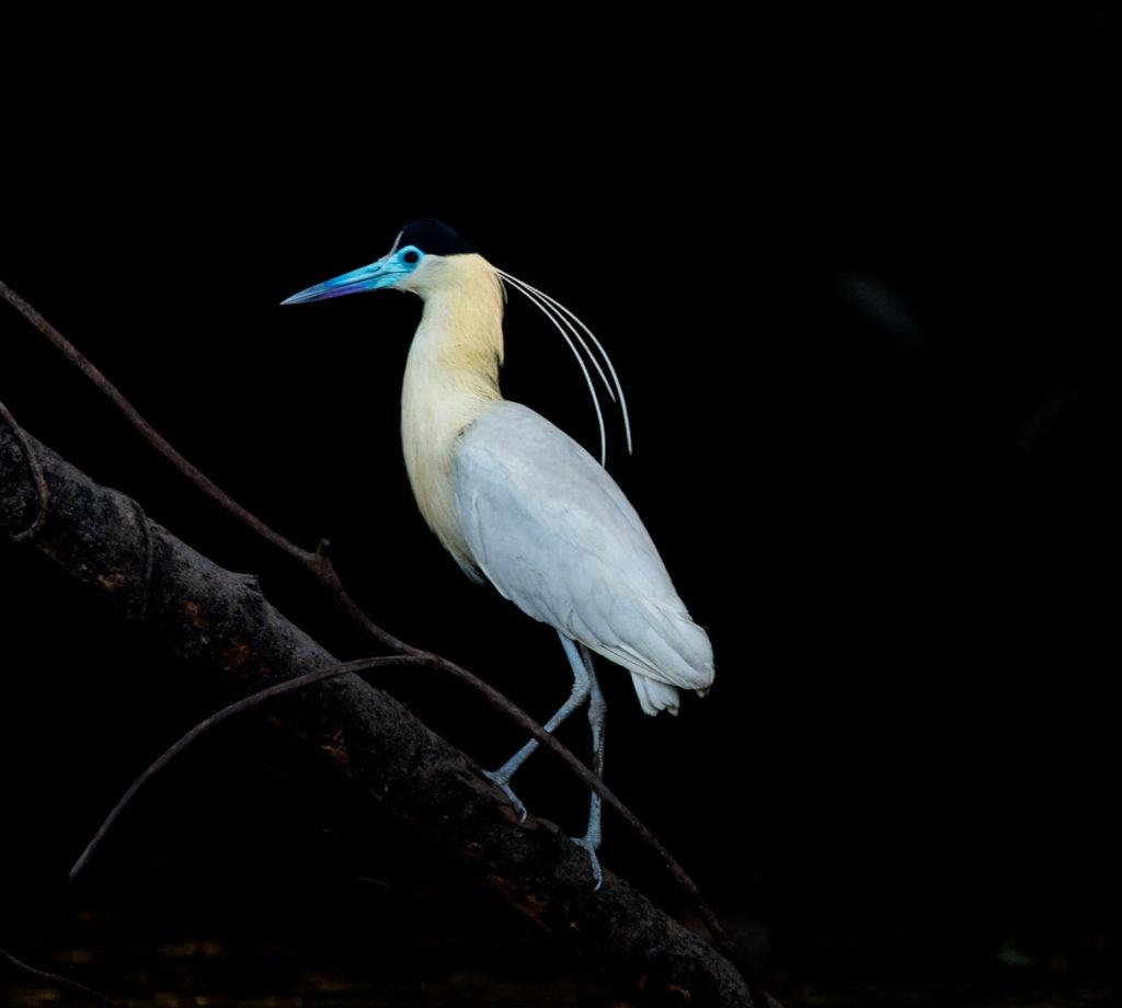 Capped Heron in Maijuna Lands