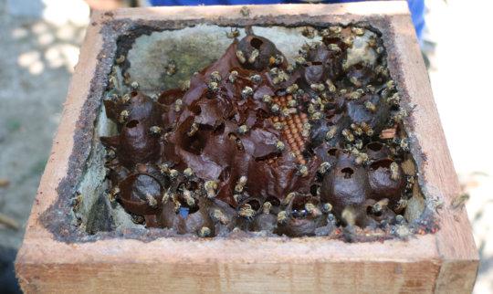 Stingless beehive