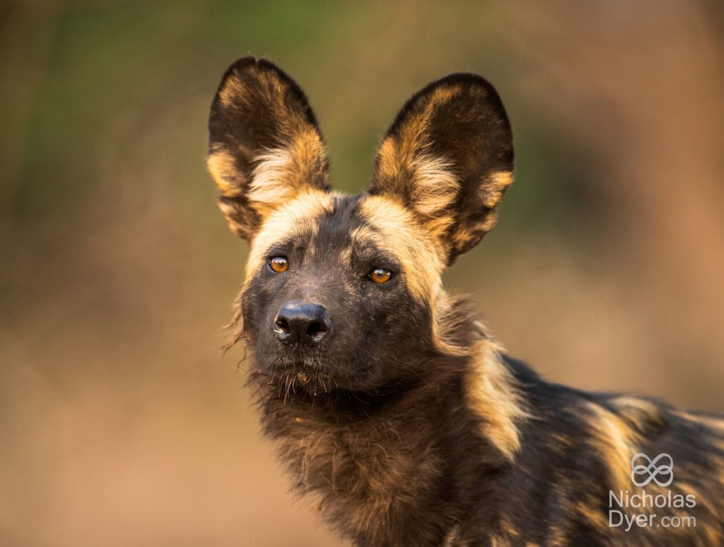 Painted dog. Image credit: Nicholas Dyer.