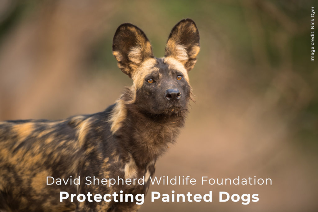 Helping to save Zimbabwe's Painted Dogs