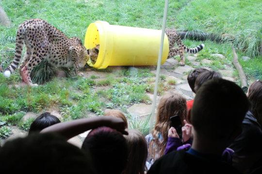 The Cheetah challenge.