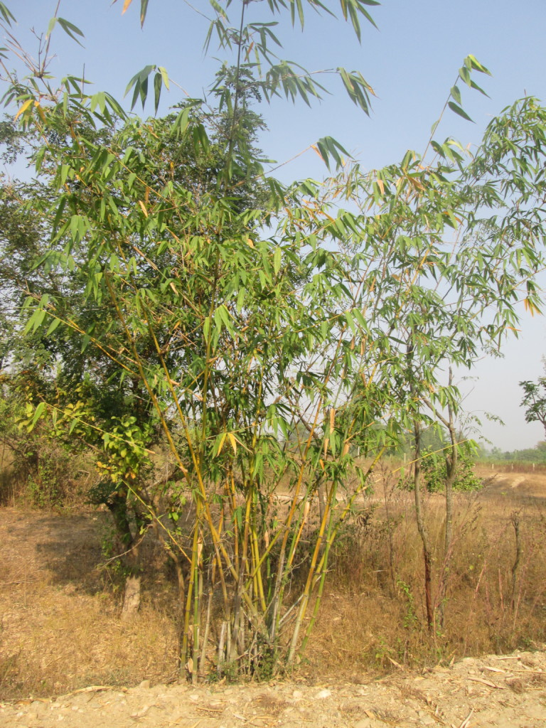 Growing bamboo plant