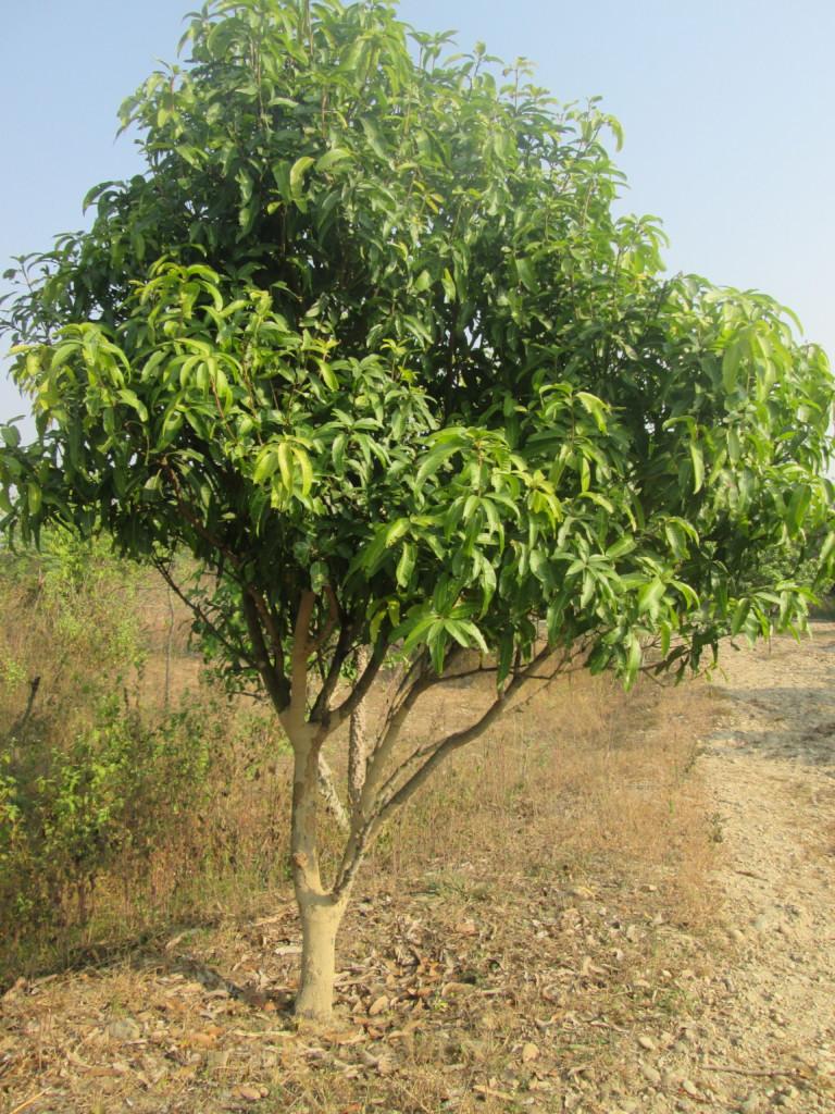 Growing mango tree in a plot