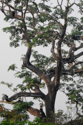 Giant trees facilitate rare co-existence