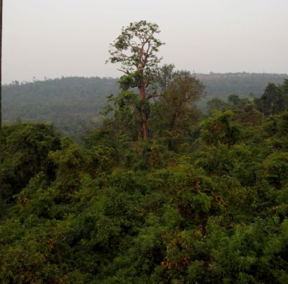 Giant trees- the only hope for saving biodiversity
