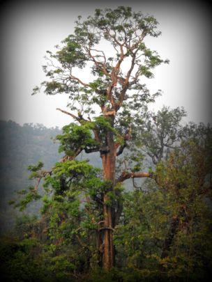 Giant trees - foundational pillars of biodiversity