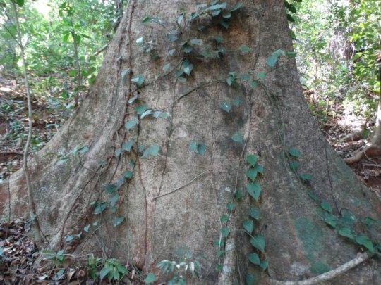 Antiaris Toxicaria01-Giant tree