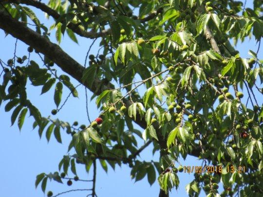 Antiaris toxicaria-fruits