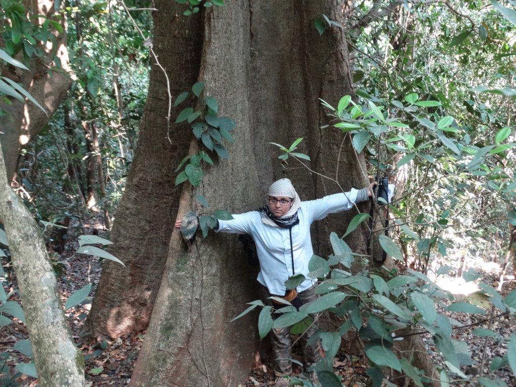 Antiaris Toxicaria-Giant tree