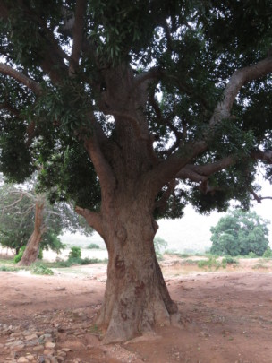 Bandipur Giant Tree 3