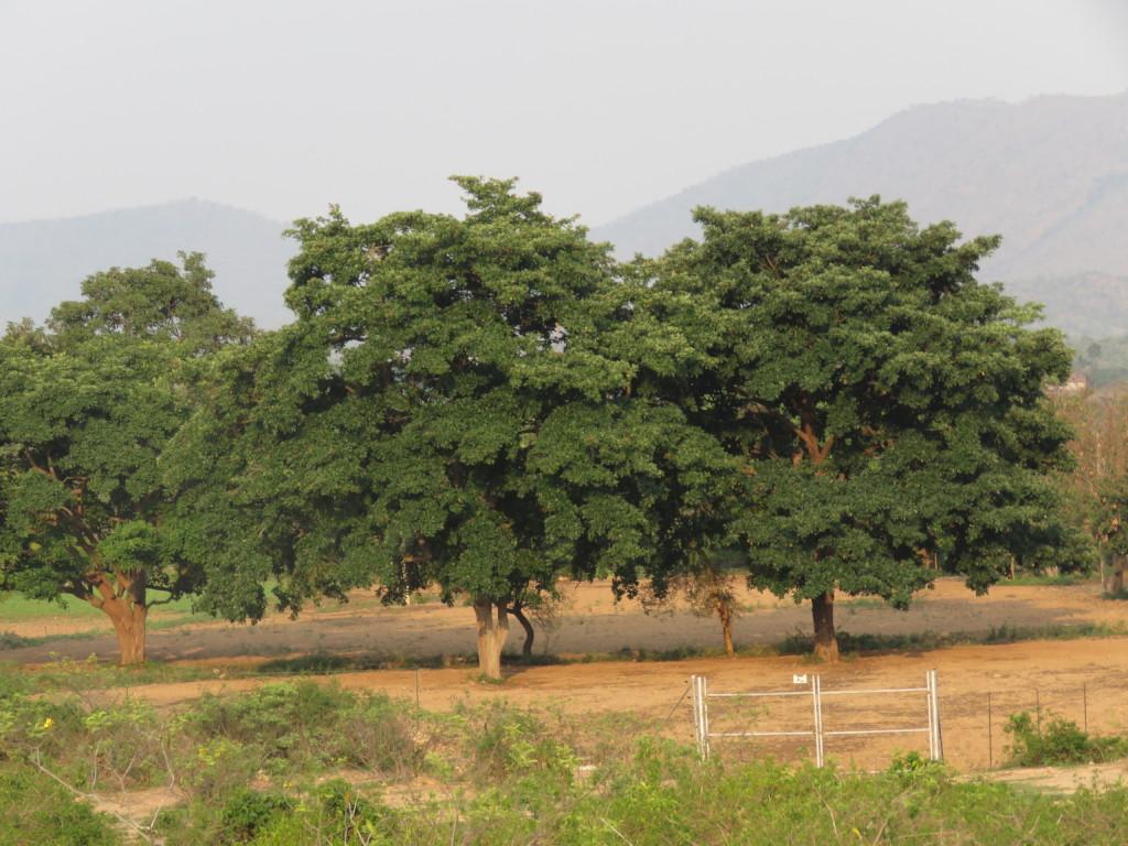 Bandipur Giant Tree 4