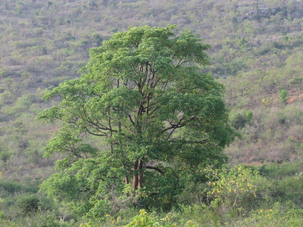 Bandipur Giant Tree 2
