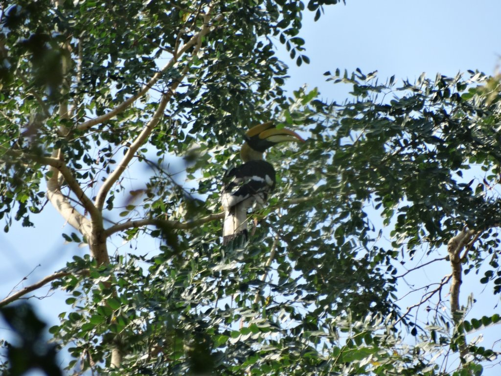 Great hornbill-dispersal agent03