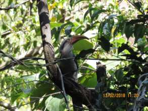 Malabar grey hornbill-seed dispersal agent01