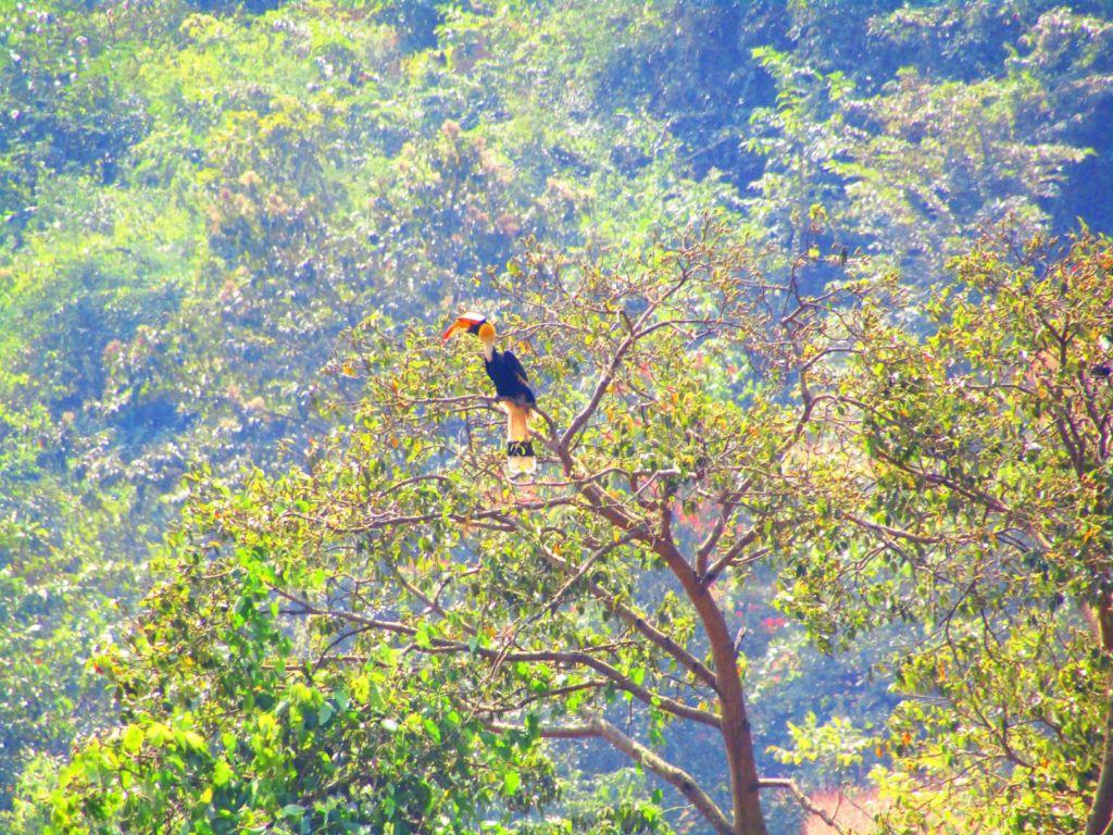 Landscape species Hornbill