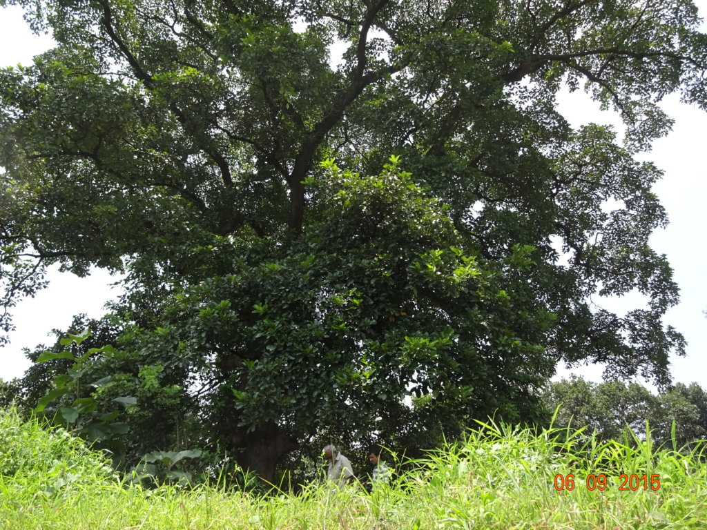 Giant Trees for Climate Change Mitigation in India
