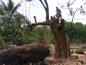 Indiscriminate felling of large tree