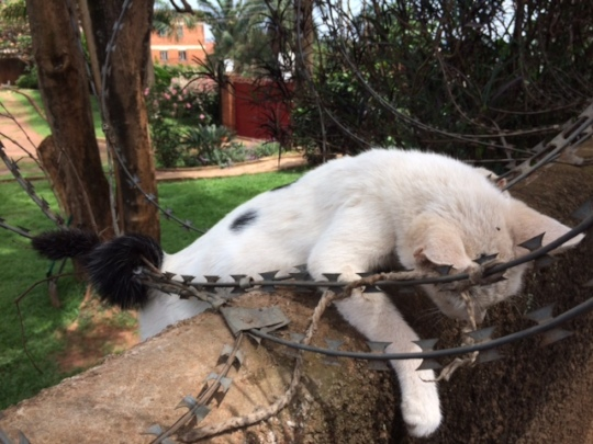 Kitty stuck in razor wire