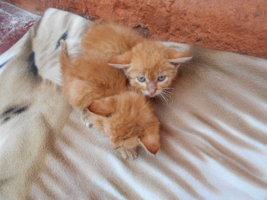 Rescued from a pit latrine, 2 kitties after baths