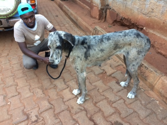 Great Dane rescued after 3 wks with no food/water