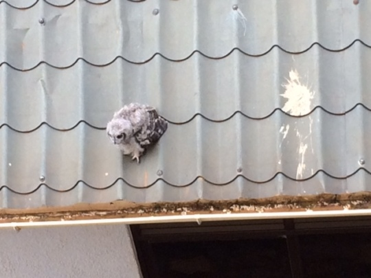 Owl rescued, he fell from his nest, no injuries!