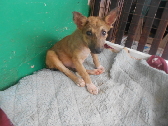 Puppy rescued in Entebbe, mange, fleas, emaciated