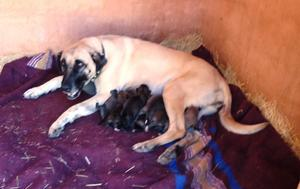 CCF's newest litter of livestock guarding dogs!