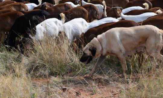 Anatolian Shepard with Goat Herd