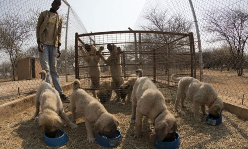 Anatolian Shepard Puppies
