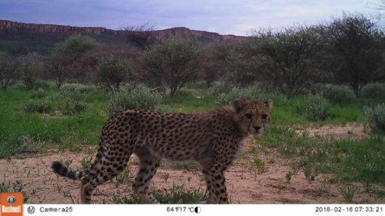 Cheetah monitored by camera trap