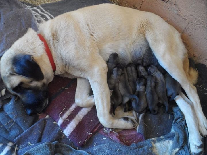 Healthy Mom - Penda and her puppies