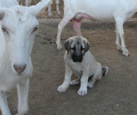 Kangal puppy placed