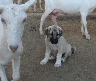 Kangal puppy playing