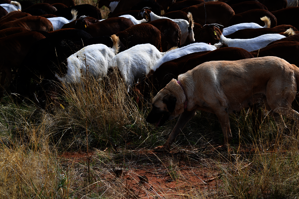 Livestock Guard dog with goats